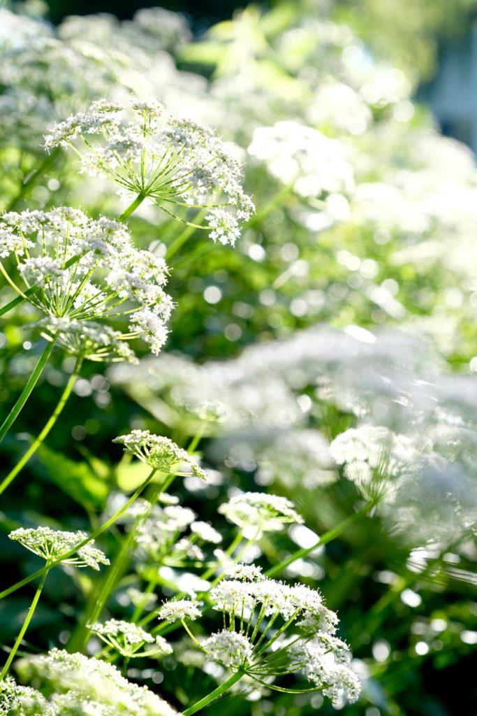 Gierschblütenwolken im Sonnenlicht – die Blüten sin essbar