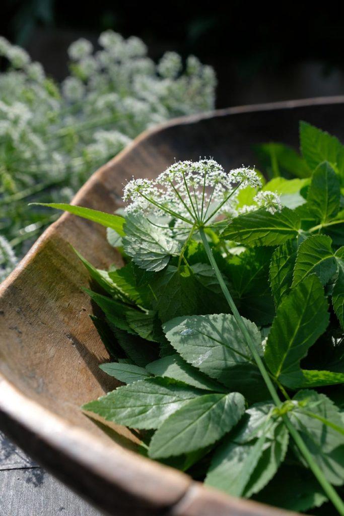 Giersch ist ein echtes Superfood und toll für Crespelle alla giardino...