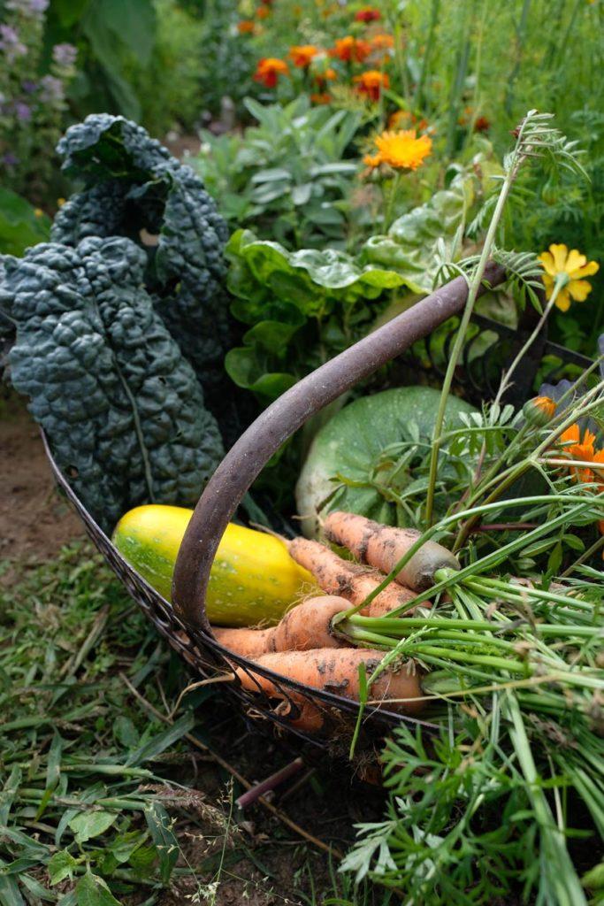 Frische Ernte: eigenes Gemüse schmeckt doppelt gut