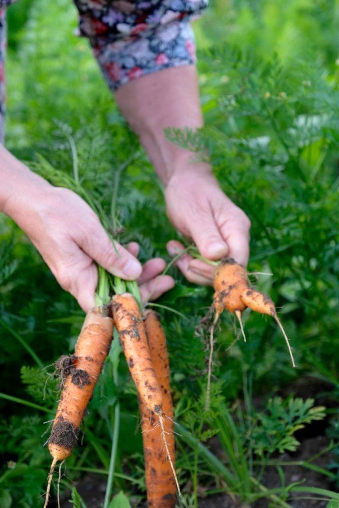 Möhrenernte im Gemüsebeet
