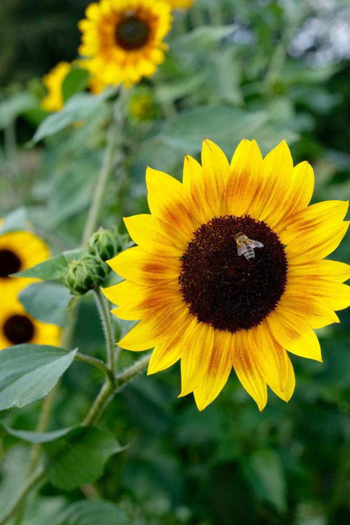 Anziehungspunkt für Bienen: Gemüsegarten