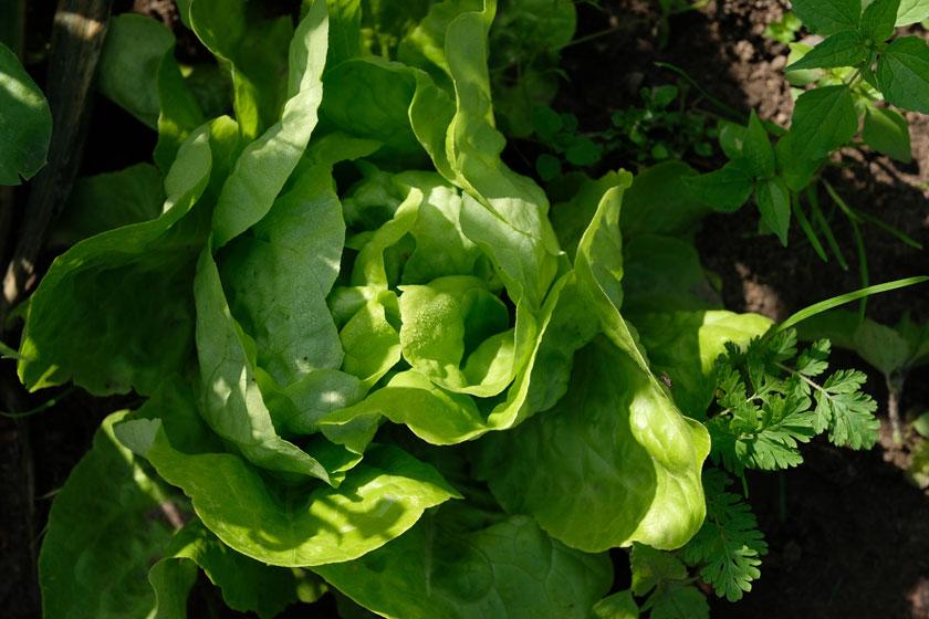 Frischer Salat, bereit zur Ernte