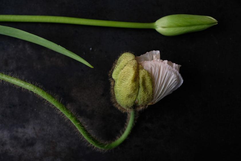 Mohn und Französische Tulpe – die Ballerinen unter den Blumen