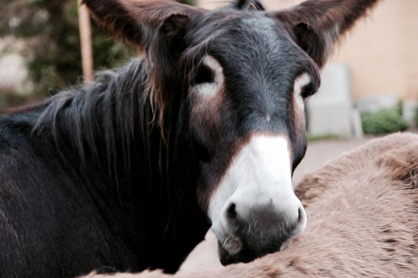 Esel - von Charakterköpfen mit Charme, Eselwanderungen und gutem Lesestoff